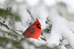 Northern cardinal perched in a tree. Male northern cardinal sitting in an evergreen tree following a winter snowstorm Royalty Free Stock Photography