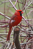 Northern Cardinal Profile Stock Photo