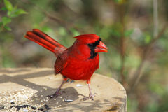 Northern Cardinal. A Red Bird, The Northern Cardinal Eating Bird Seed, Male, Cardinalis cardinalis stock images