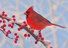 Northern Cardinal At Red Winter Berries. A winter male Northern Cardinal on a snowy branch full of bright red berries with blue sky in the background Royalty Free Stock Photos