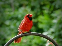 Northern cardinal or redbird or common cardinal - Cardinalis cardinalis. Perched on hook Royalty Free Stock Photography