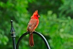 Northern cardinal or redbird or common cardinal - Cardinalis cardinalis. Perched on hook Royalty Free Stock Images