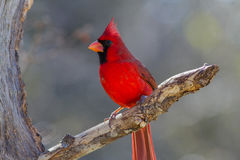Northern Cardinal. Redbird on dead tree looking for food Royalty Free Stock Photos