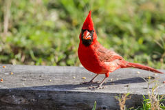 Northern Cardinal. Redbird on ground looking for a good fast food meal Royalty Free Stock Photo