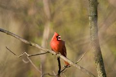 Northern Cardinal Singing. Male Northern Cardinal perched on a branch, singing - Cardinalis cardinalis Royalty Free Stock Photo
