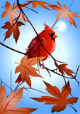 The  northern cardinal sitting on a maple branch Stock Photos