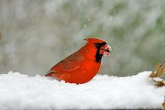 Northern Cardinal in Snow Stock Photography