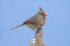 Northern Cardinal In Snow Royalty Free Stock Images
