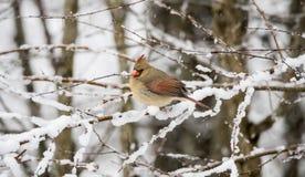 Northern Cardinal in Snow Stock Photos