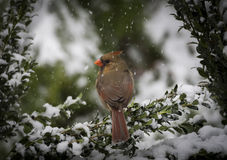 Northern Cardinal in Snow Stock Images