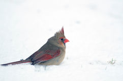 Northern cardinal in the snow Stock Photo