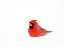 Northern cardinal in the snow Royalty Free Stock Photo