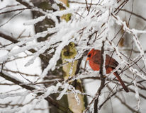 Northern Cardinal in Snow Royalty Free Stock Image