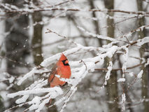 Northern Cardinal in Snow. A male Northern Cardinal perched on snow covered limbs Stock Images