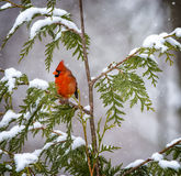 Northern Cardinal in Snow. A male Northern Cardinal perched on snow covered limbs Royalty Free Stock Photos