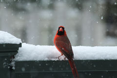 Northern Cardinal in the snow. Red male Northern Cardinal looking for food in during a snow fall. All colours are either white or dark grey or green. The white Royalty Free Stock Photography