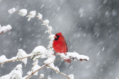 Northern Cardinal in snow storm. Cold winter day with snow falling and bird sitting on a branch Royalty Free Stock Images