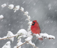 Northern Cardinal in snowstorm Royalty Free Stock Photography