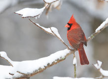 Northern Cardinal in snowstorm Royalty Free Stock Photo