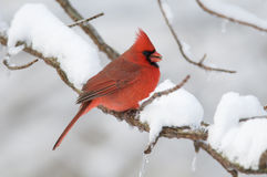 Northern Cardinal in snowstorm Stock Photos