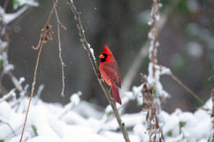 Northern cardinal in a snowstorm Stock Image