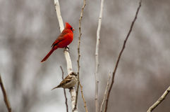 Northern cardinal and sparrow. A male northern cardinal and a sparrow perched on a tree limb royalty free stock image