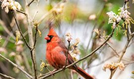 Northern Cardinal and Spring time royalty free stock photos