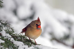 Northern cardinal in a tree Royalty Free Stock Image