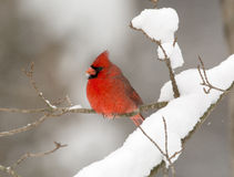 Northern cardinal in a tree Royalty Free Stock Photo