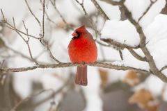 Northern cardinal in a tree Stock Photos
