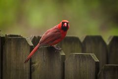 Northern Cardinal in the tree stock images