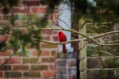 Northern Cardinal in the tree royalty free stock images