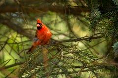 Northern cardinal in tree. (Cardinalis cardinals Stock Photos