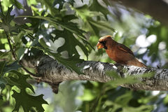 Northern Cardinal in Tree. Cawing with leaves Royalty Free Stock Image