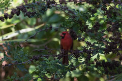 Northern Cardinal On A Tree, Eating Seeds, Tavernier, Key Largo, Royalty Free Stock Photo