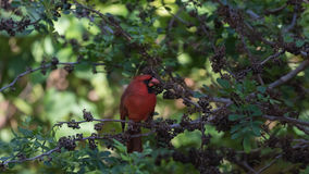 Northern Cardinal On A Tree, Eating Seeds, Tavernier, Key Largo, Royalty Free Stock Image