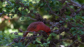 Northern Cardinal On A Tree, Eating Seeds, Tavernier, Key Largo, Stock Photo