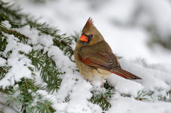 Northern cardinal in a tree Stock Image