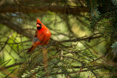 Northern cardinal in tree Stock Photos