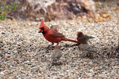 Northern cardinal walking on the garden floor with house finches. At the side Stock Photography