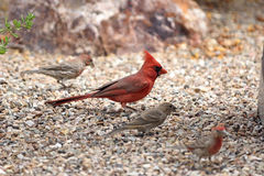 Northern cardinal walking on the garden floor with house finches. At the side Royalty Free Stock Photography