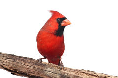 Northern Cardinal On White Royalty Free Stock Images