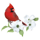 Northern Cardinal and White Dogwood. Stock Images