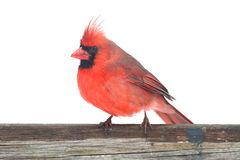 Northern Cardinal On White Royalty Free Stock Photo
