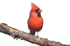 Northern Cardinal On White Royalty Free Stock Image
