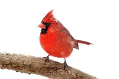 Northern Cardinal On White. Male Northern Cardinal (Cardinalis) with snow and ice Isolated on a white background Royalty Free Stock Photo