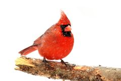 Northern Cardinal On White. Male Northern Cardinal (Cardinalis) with snow and ice Isolated on a white background Stock Image