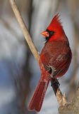 Northern Cardinal in winter Royalty Free Stock Images