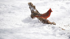 Northern Cardinal in Winter Stock Photography