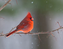 Northern Cardinal in winter. Northern cardinal perched on branch during winter storm Stock Image